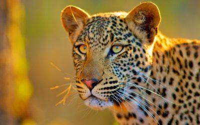BOTSWANA-safari-leopard