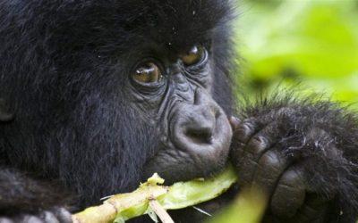 UGANDA-Gorilla-Trekking-safari-2050 x 913