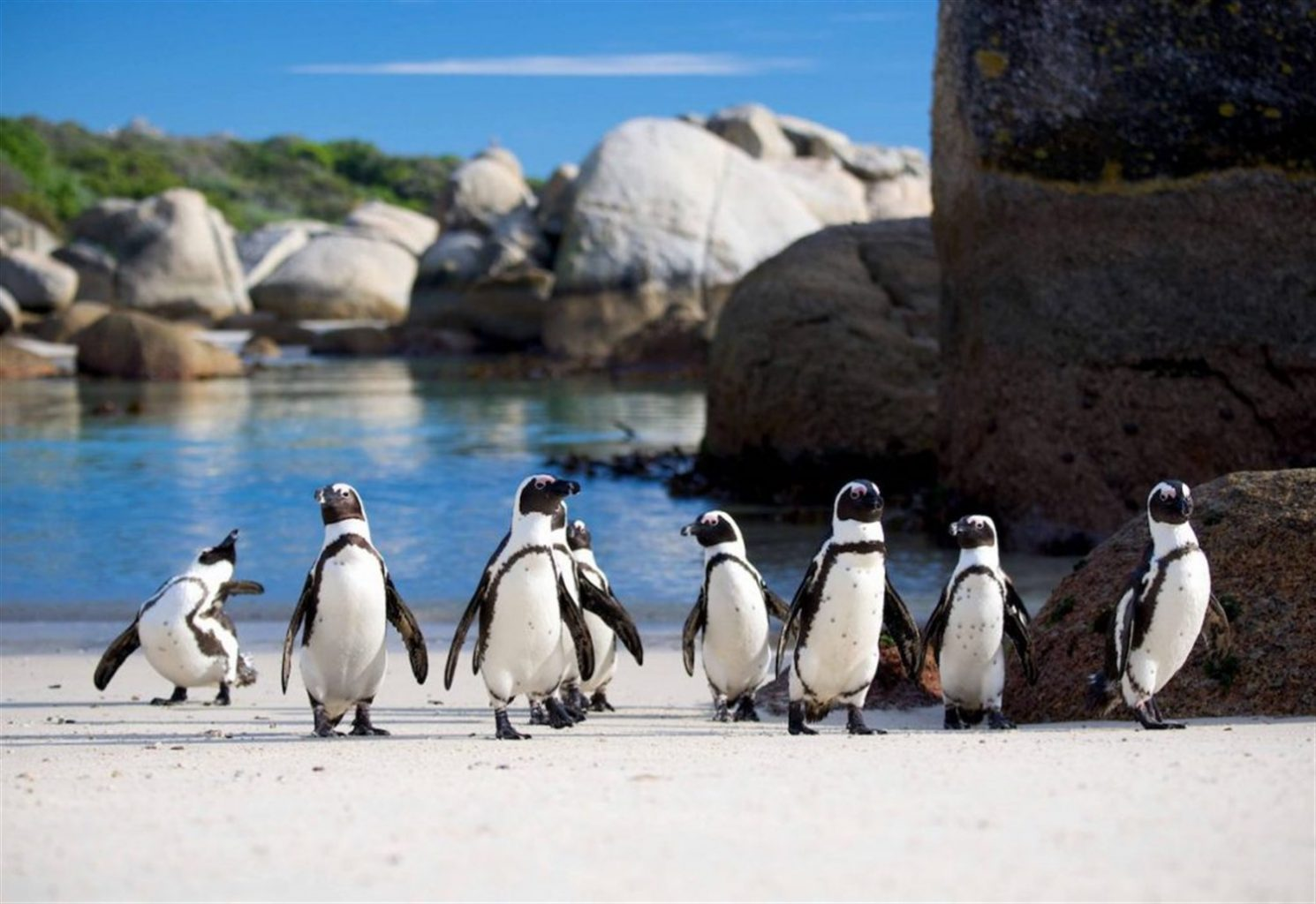 african-penguins-bounders-beach-south-africa-5-1500 x 1031
